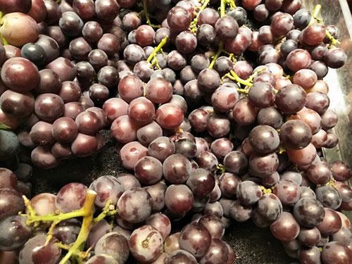 四川特色农业促增收:葡萄 泡菜 柠檬 种类繁多