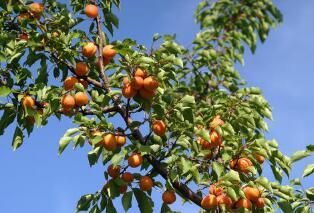 杏有哪些吃法?杏仁 杏干 杏脯 罐头