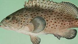 石斑鱼有哪几种?野生的好还是养殖的好吃