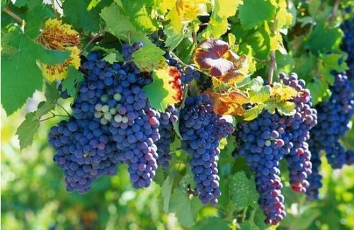 葡萄的功效和作用,那些人不能吃葡萄?