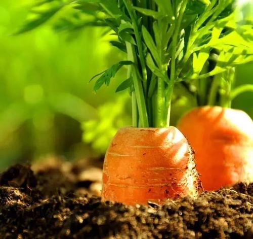 胡萝卜的功效和禁忌,这几条你一定要知道