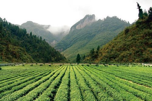 古丈毛尖,一种历史悠久的绿茶