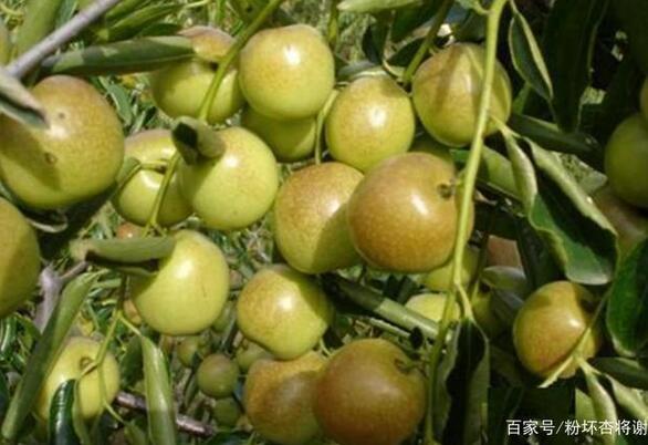 要想发挥红枣最大的功效,就得按照品种来吃