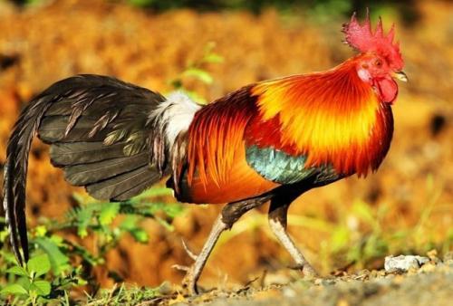 云南茶花鸡,一种特殊的鸡类品种