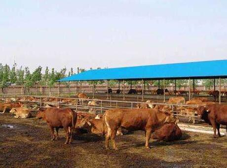 云南人想要致富不如养牛,政府欲投资打造千亿肉牛产业